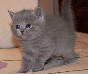 Британские  котята недорого