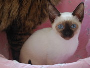 тайские котята от титулованных производителей