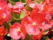 цветущая рассада однолетних цветов