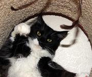 Огромные Котики породы Мейн Кун