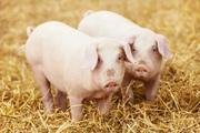 БВМ добавка для свиней Purina 15%
