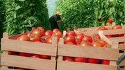 Разнорабочий на сбор томатов